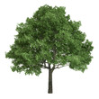 North American Oak Tree Isolated