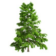 Cedar Tree Isolated