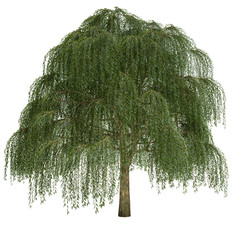 Willow Tree Isolated