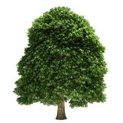 Chestnut Tree Isolated