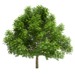 Great Chestnut Tree Isolated