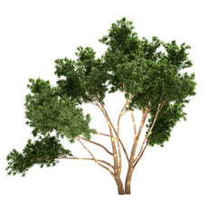 Eucalyptus Tree Isolated