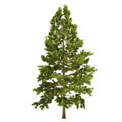 Tall Pine Tree Isolated