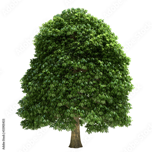 Chestnut Tree Isolated