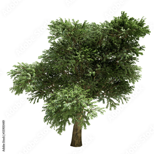 Arbutus Tree Isolated