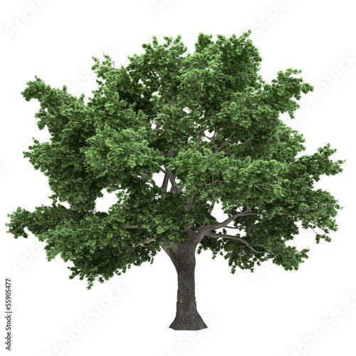 Canadian Maple Tree Isolated
