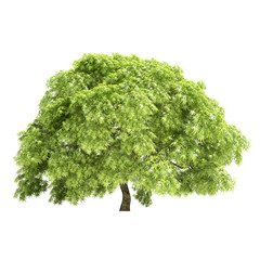 Great Maple Tree Isolated