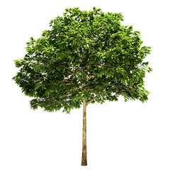 Rowan Tree Isolated
