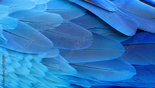 canvas print picture Blue and gold macaw feathers.