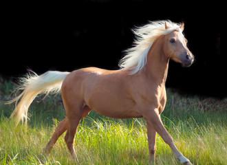 galoping palomino welsh pony at black background