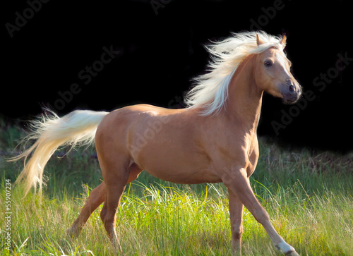 Papiers peints Chevaux galoping palomino welsh pony at black background
