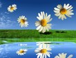 the daisies fly over the fields