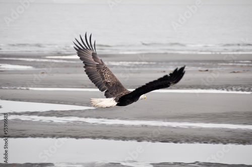 Bald eagle in flight, Alaska