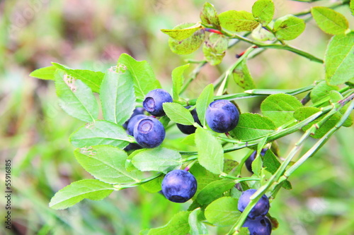 Blueberries growing on a branch
