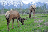 Herd of elk, Alaska
