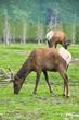 Herd of elk, alaska