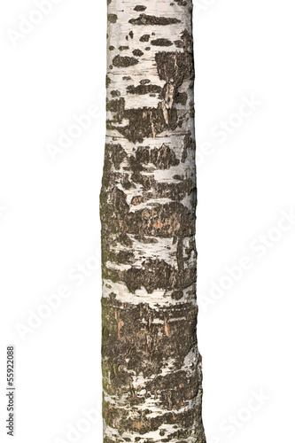 Trunk of old birch