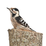 small woodpecker, female