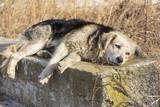 Dog depression. Sad old homeless hungry dog sleeping - Fine Art prints