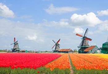 dutch windmills over  tulips