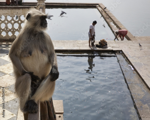 India, Pushkar, a monkey looks at the pilgrims take a bath