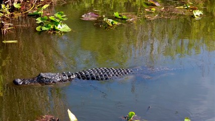American Alligator in Florida,USA