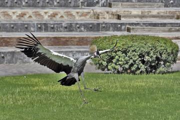 Garza Coronada aterrizando