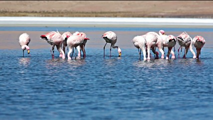 Flamingos on lake in Andes