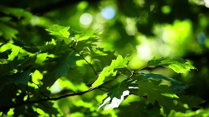 Green leaves of an acorn tree.