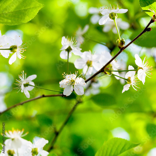 white spring flowers on tree brunch