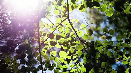 beautiful spring leaves of tree and rays of light
