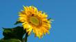 Sonnenblume mit Biene