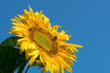 Sonnenblume mit Bienen und Grashüpfer