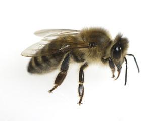 Biene, Apis mellifera; Honigbiene; Insekt