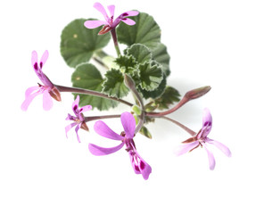 Kapland-Pelargonie, Pelargonium sidoides, Duftgeranie,