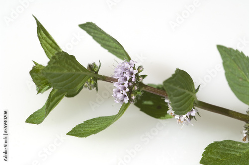 Pfefferminze; Mentha x piperita; Echte Pfefferminze;