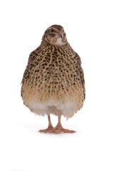 Japanese quail
