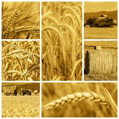 La cosecha de cereales en la industria de la agricultura