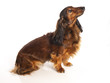 long haired dachshund on a white background
