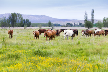 horses grazing in a meadow grass