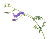 Tufted vetch, Vicia cracca isolated on white background