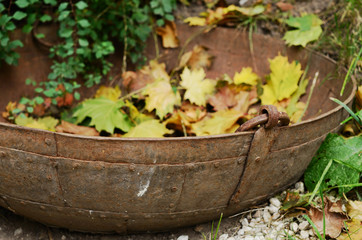Vintage metal tub with yellow maple leaves