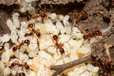 Red ants with white eggs on anthill