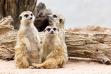 Group of cute meerkat