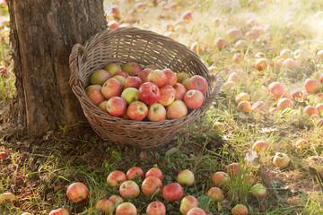 Apfelernte im Spätsommer