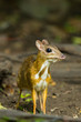 Mouse deer (Tragulus javanicus) is staring at us in wild nature