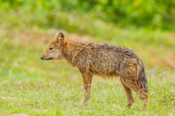 Nature Asiatic jackal  in forest of Thailand