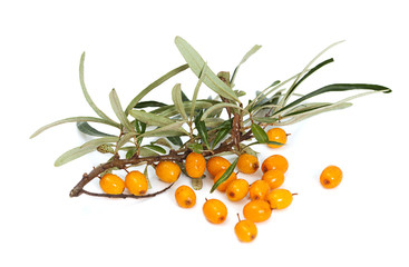 Branch of orange seabuckthorn