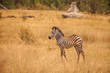 Burchell's Zebra in Savanna of Botswana