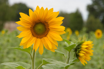 Sonnenblumen auf Sonnenblumenfeld